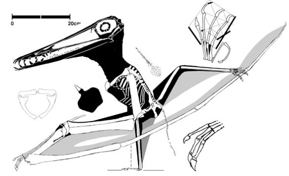 Figure 2. The ornithocheirid pterosaur, Arthurdactylus. Note the tiny size of its feet.