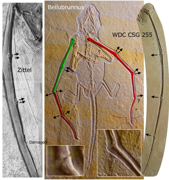 Figure 1. Bellubrunnus (center) in situ. The Zittel wing (left) and the WDC specimen (right) showing how the interphalangeal joints are typically pointed posteriorly, toward the membrane. The Bellubrunnus specimen appears to break that model, but note the wings have been torsioned so the dorsal side is shown in green and the ventral side appears in red. Confusing, yes!