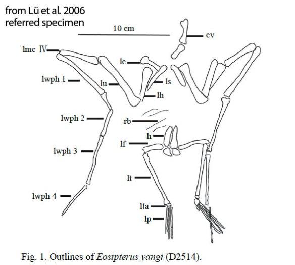 Figure 2. Eosipterus referred specimen D2514 as observed by Lü et al. 2006