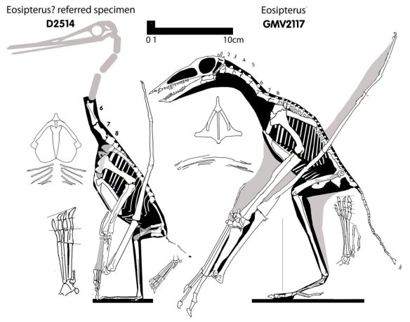 Figure 1. Click to enlarge. The holotype of Eosipterus and the referred specimen.