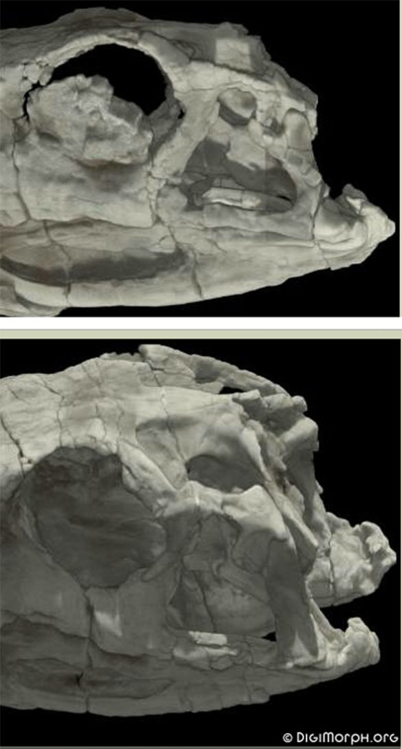 Figure 2. Herrerasaurus postfrontal/postorbital. Can you see the incomplete fusion?