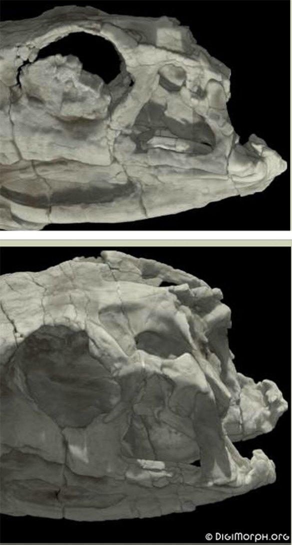 Figure 2. Herrerasaurus postfrontal/postorbital. Can you see the incomplete fusion?