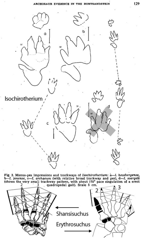 Figure 1. Isocheirotherium tracks matched to erythrosuchid pedes based on the longest digits from the heel are 2 and 3, unique to this clade.