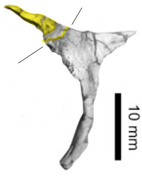 Figure 3. Postorbital/postfrontal of Pampadromaeus. More fusion here as these two bones remain together after disarticulation.