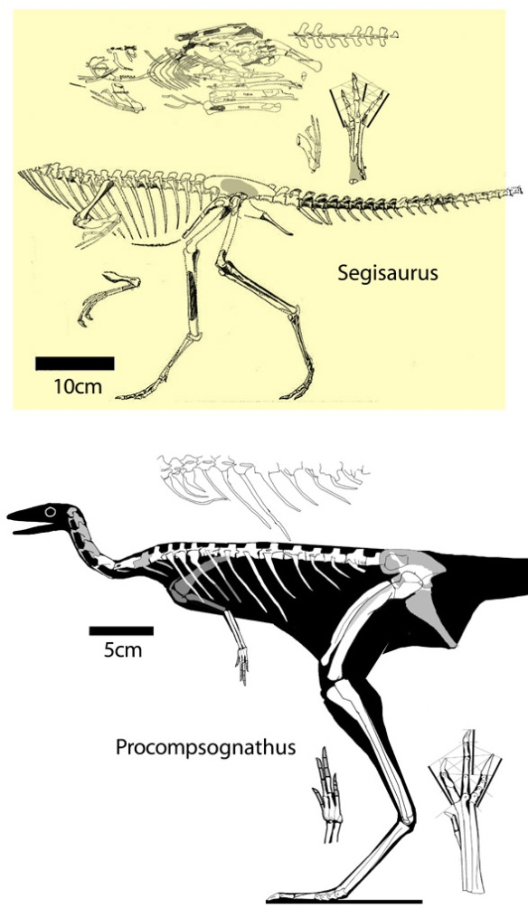 Figure 1. Procompsognathus (below) along with Segisaurus (not to scale). We don't have the actual skull of Procompsognathus, but it was likely small, but taller than wide.