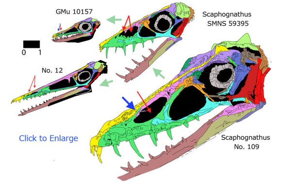 Figure 1. Click to enlarge. The reduction of the naris (red arrow), the appearance of the secondary naris, and the appearance of the secondary ascending process of the maxilla in a line of scaphognathids, all to the same scale.
