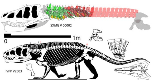 Figure 2. The holotype Shansisuchus (below) and the new one (above) both to scale.
