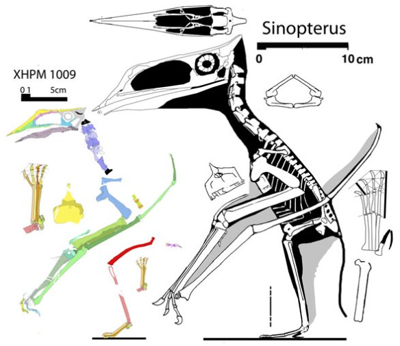 Figure 1. Sinopterus and purported juvenile, but note the skull is relatively smaller with smaller eyes in the smaller specimen. The feet are also distinct. This appears to be a smaller adult of another species, not a juvenile.