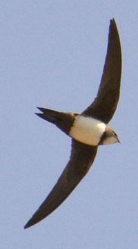 Alpine Swift (Tachymarptis melba) on the wing for 7 months at a time! Check out that wing shape. Remind you of anything prehistoric?