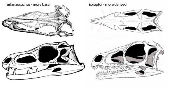 Figure 3. Herrerasaurus close kin, Turfanosuchus (more basal) and Eoraptor (more derived).