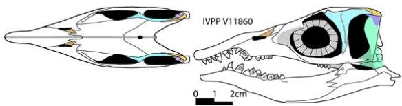 Figure 3. Xinpusaurus suni, a basal thalattosaur sharing many traits with the Rossman specimen.
