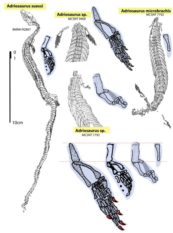 Figure 1. Various specimens of Adriosaurus documenting the reduction of large clawed hands to small clawless paddles, then ultimately disappearing completely.