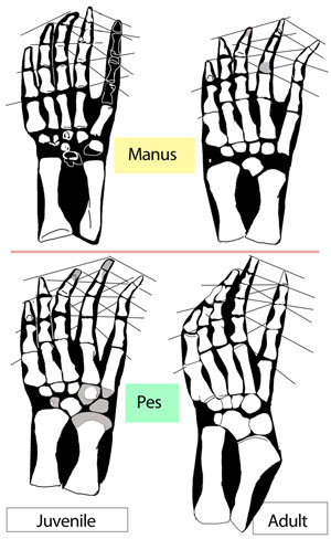 Figure 2. The manus and pes of the large and small Anshunsaurus specimens.