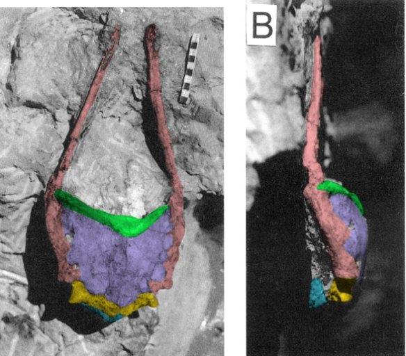 Figure 1. 3D drepanosaur pectoral girdle. Green = clavicles, lavendar = interclavicle, pink = scapula, yellow = coracoid, blue = sternum.