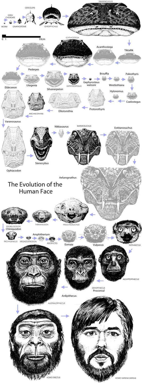Figure 1. Click to enlarge. The evolution of the human face. Many images come from Peters 1991, From the Beginning.