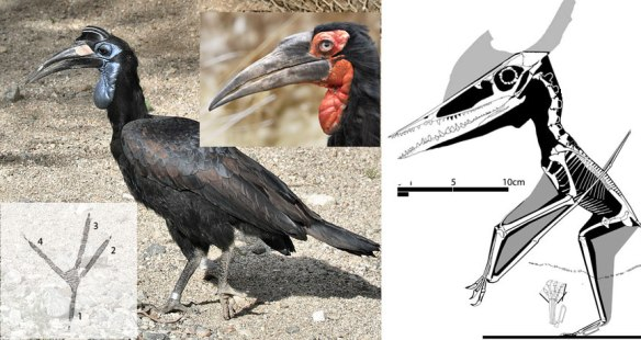 Figure 1. Click to enlarge. Ground hornbills compared to a Germanodactylus, JME Moe-12.