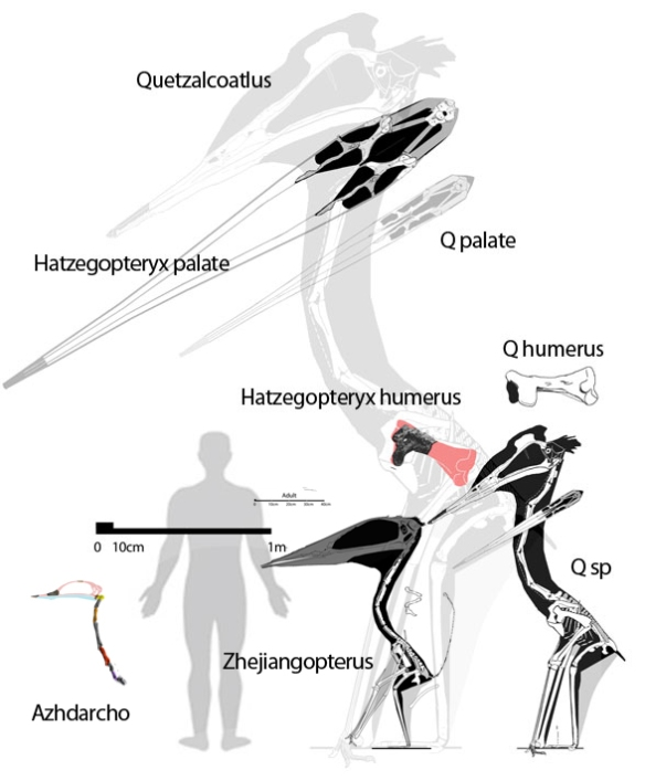 Figure 1. Hatzegopteryx elements to scale with the more completely known Quetzalcoatlus sp. and Quetzalcoatlus northropi (largely hypothetical). Scaling up Q. sp. to the size of Quetzalcoatlus puts the humerus to the size of Q. northropi and Hatzegopteryx (based on the partial humerus). However the skull of Hatzegopteryx, based on the pterygoid/quadrate is both much wider and much longer than the scaled up Q. northropi skull. A bigger skull means a more robust neck for Hatzegopteryx -- which gives it less of a chance of flying. Zhejiangopterus and Azhdarcho also shown to scale.