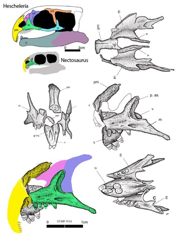 Figure 1. Nectosaurus and Hescheleria, two odd hook-nose thalattosaurs