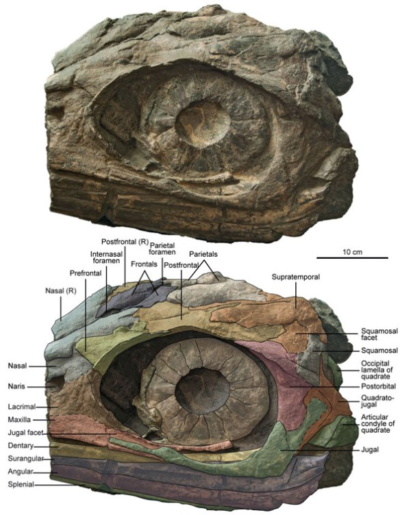 Figure 1. Russian ichthyosaur skull color coded using DGS to illustrate bone dimensions and sutures.