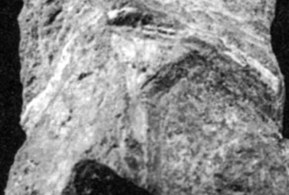 Figure 2. The broad, yet T-shaped interclavicle of Jesairosaurus at the base of the drepanosaurids.