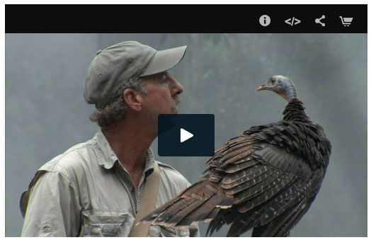 Click to go to online video at PBS/Nature. My Life as a Turkey explores the ontogeny of these little dinosaurs as thoroughly as I've ever seen.
