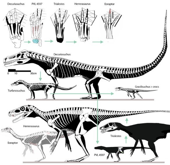 Figure 1. Click to enlarge. The origin of dinosaurs, with a focus on their feet. Here are Decuriasuchus, Turfanosuchus, Trialestes and Herrerasaurus in phylogenetici order (green arrows) and to scale.