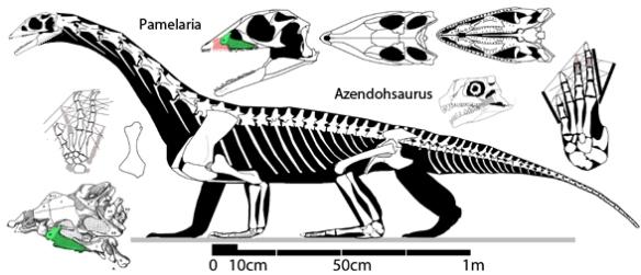 Figure 1. Pamelaria compared to the skull of Azendohsaurus. The description of the postcrania of Azendohsaurus by Nesbitt et al. matches that of Pamelaria.