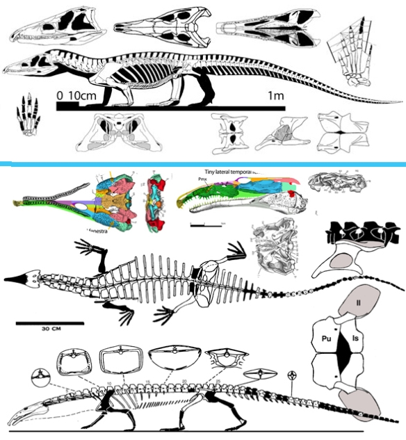 FIgure 3. Proterosuchus (above) and Doswellia (below). Note the similarity of the drooping premaxilla, the shape of the pes and the overall low slung body.