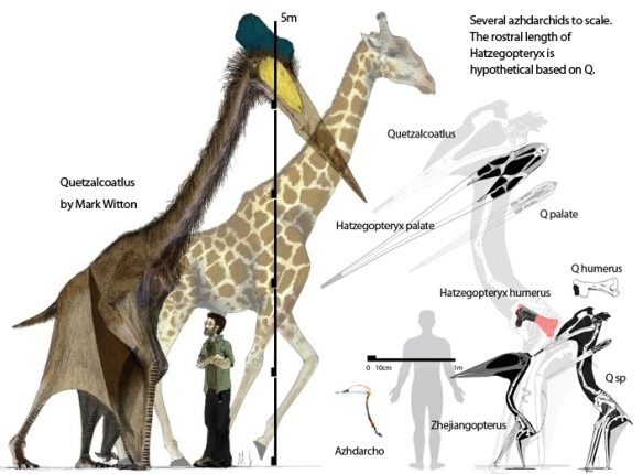 Figure 3. Mark Witton's version of a large Quetzalcoatlus at 5 m tall, next to a giraffe and 6 foot tall human. On the right are a selection of azhdarchids to the same scale from reptile evolution.com.