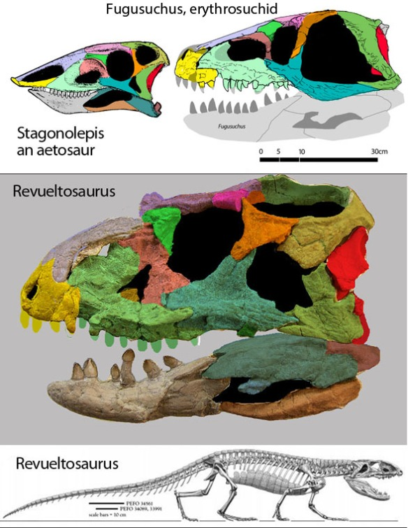 Figure 1. Revueltosaurus skull from online source (link above) color coded to bone. Above, the aetosaur, Stagonolepis, to which Nesbitt and Parker nest Revueltosaurus. In contrast, the large reptile tree nests Fugusuchus with Revueltosaurus as a derived herbivorous erythrosuchid.