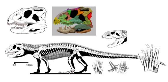 Figure 2. Revueltosaurus