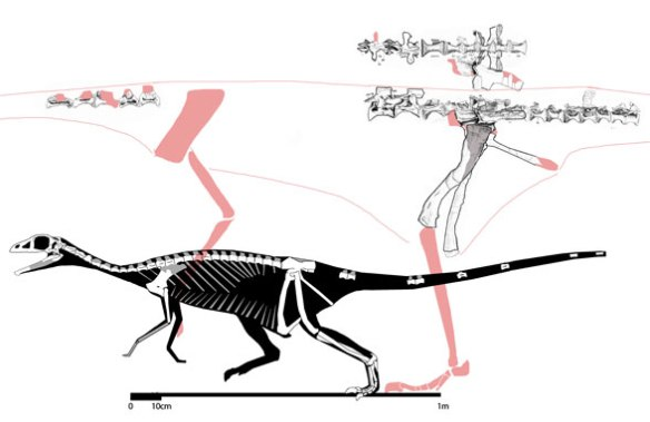 Figure 1. Sillosuchus (the large one) compared to Shuvosaurus (in silhouette).