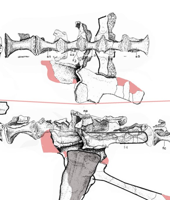 Figure 2. Because it is rather odd, it is difficult to wrap your mind around the way the pelvis looks and operates. The femur has no offset head and appears to articulate with the overhanging portion of the ilium.