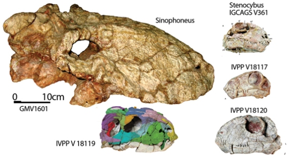 Figure 1. The holotype of Sinophoneus and four smaller specimens (to scale) one of which was formerly attributed to Stenocybus. Images from Liu 2013. The IGCAGS specimen is the holotype of Stenocybus. The V19117 specimen is actually basal to the tiny dromasaurs. The  V18120 specimen is actually basal to dicynodonts and kin. The IVPP V18119 specimen nests between Sinophoneus and Deuterosaurus. They do alike. There are parts that are difficult to score.