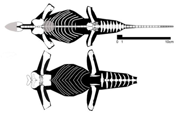 Figure 2. Tangasaurus specimens in dorsal view. They are both wide, like pancakes, with very wide anterior caudals.