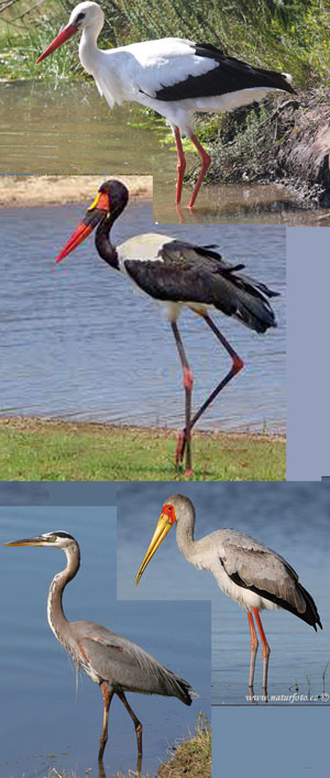 Figure 1. A selection of wading storks. With their long necks and long legs, these waders seem to resemble little azhdarchids.