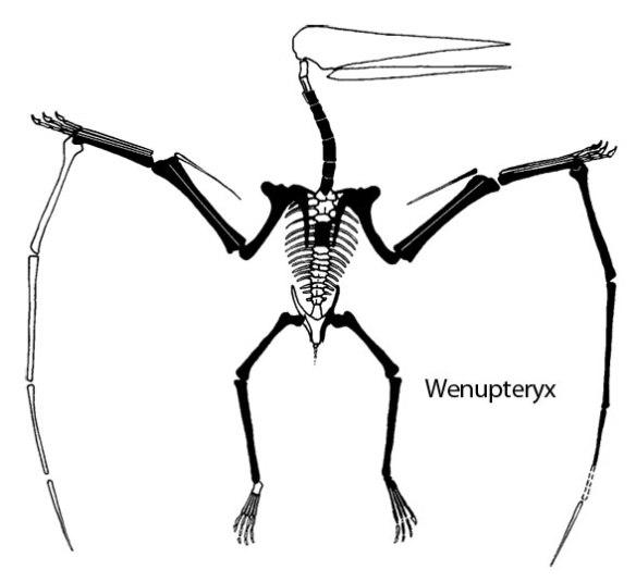 Figure 4. Wenupteryx in dorsal view as figured by Codorniu et al. 2006