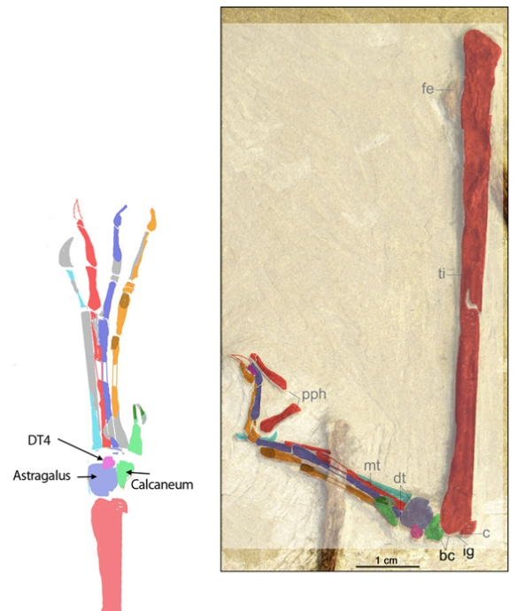 Figure 2. Colorized bones of the tibia, tarsus and pes of Wenupteryx (from Codorniu and Garrido 2013) permitted identification of the elements. Not a tibiotarsus, but a fused tibia/fibula and proximal tarsals plus distal tarsal 4 are identified here.