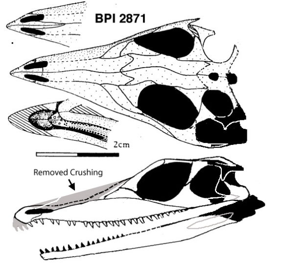 Figure 1. The sister to Doswellia, the BPI2871 specimen of Youngina.
