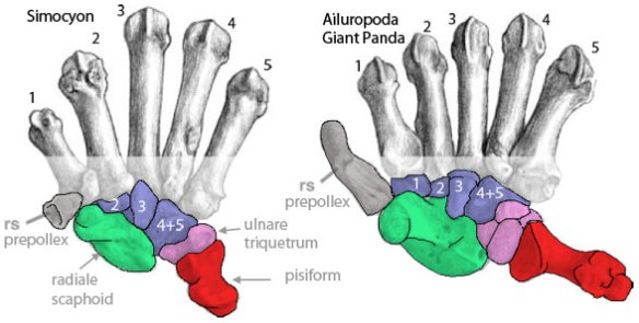 Figure 4. Metacarpals and carpals of Simocyon (Miocene) and Ailuropoda (Recent) from Salesa et al. 2005. Note the enlargement of the prepollex (radial sesamoid, gray) and otherwise the lack of centralia. The enlargement of the pisiform is interesting and potentially confusing, but not pertinent to the present discussion as it emerges from the lateral wrist.