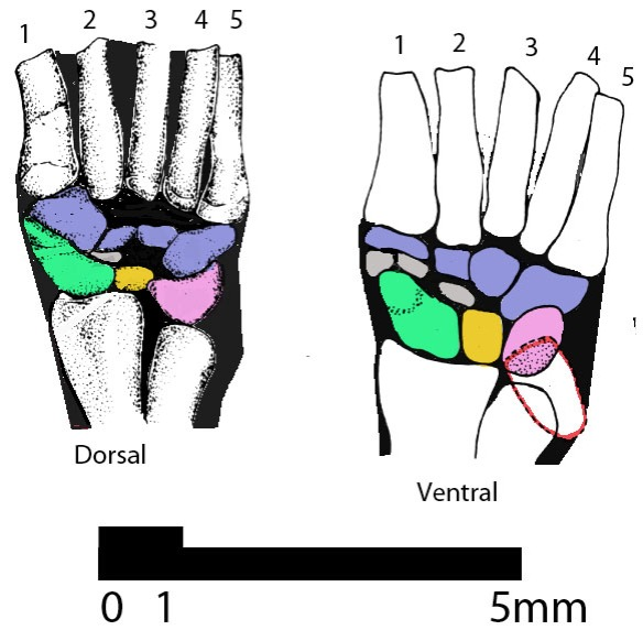 Figure 2. Asioryctes (basal placental mammal) carpus. Prepollex in gray between scaphoid (=radiale) and trapezium (distal tarsal 1).