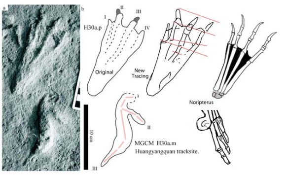 Figure 1. New possible dsungaripterid track *He et al. 2013) compares favorably to Noripterus, a dsungaripterid pterosaur. Note the metatarsal spread and likely finger 3 drag mark. The metatarsophalangeal joints must have been very loose to enable the wide splay seen in the track. Also note the precision of the pes versus the expansion of the manus track.