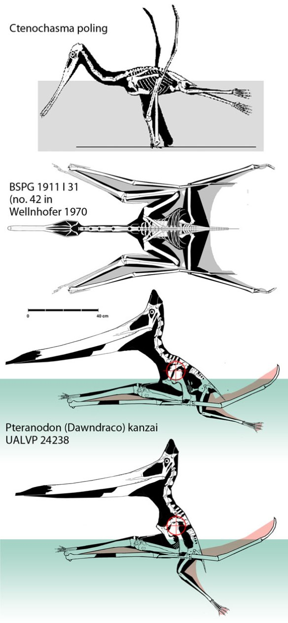 Figure 2. Floating pterosaurs from ReptileEvolution.com showing the large solid thighs, that counterbalance the air-filled skull. Like birds, the neck is able to raise the skull above the surface.