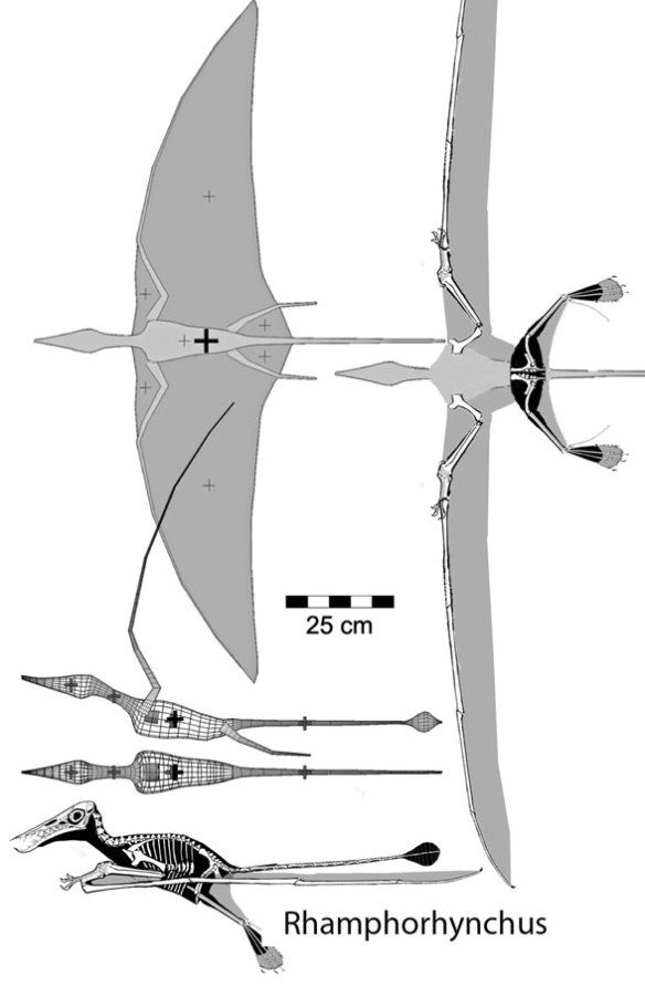 Figure 2. Henderson (2010) modeled Rhamphorhynchus with a deep chord wing, tiny thighs and shallow pelvic area and an inflexible neck, all inaccurate based on reconstructing the bones.