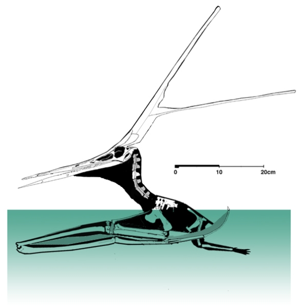Figure 5. The derived Nyctosaurus, KJ2 in a floating configuration using its long forelimbs as pontoons.