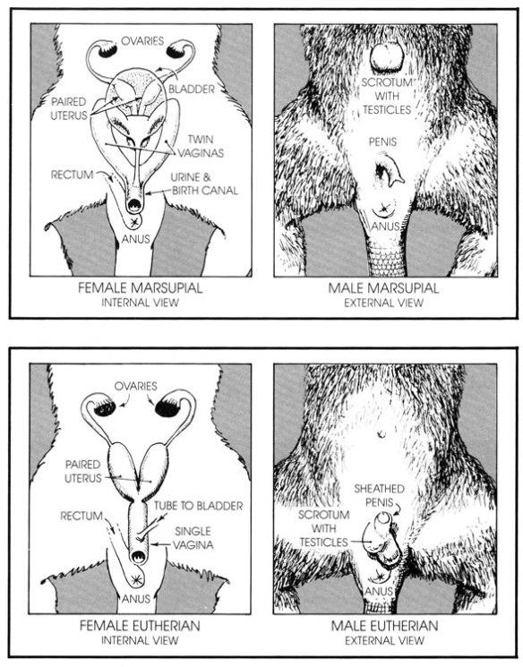 Figure 2. Placental mammal sex organs.
