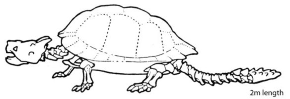 Figure 3. Meiolania is another club-tailed, short-toed turtle like Proganochelys.