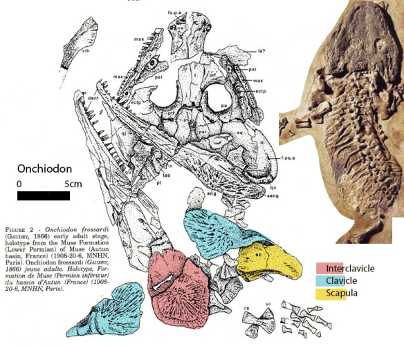 Figure 3. Click to enlarge. Onchiodon is a temnospondyl amphibian known since 1866. Romer (1925) was not thinking of basal turtles when he saw the costal ribs. Moreover, as a diadectid, Stephanospondylus was considered an amphibian, not a reptile. Note the colorized parts do bear some resemblance to those in Stephanospondylus, but a closer match to Stephanospondylus is with Odontochelys.