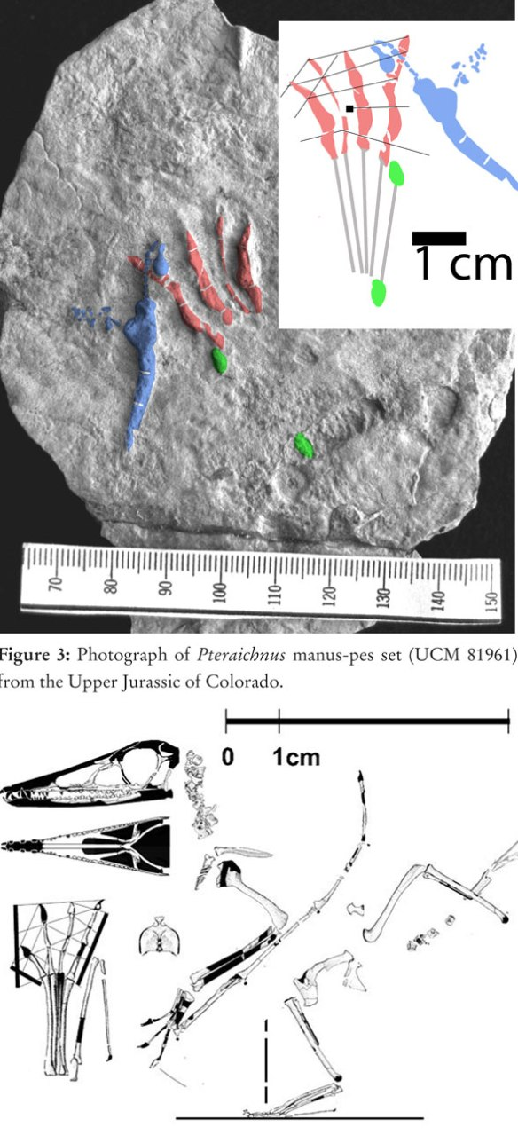 Figure 1. Digitigrade pterosaur track from Upper Jurassic, Colorado. Lockley et al. 2008. Best match is to Eudimorphodon, which has not been found beyond the Triassic otherwise. Note pedal digit 4 is slightly longer than 2 and 3.