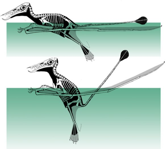 Figure 4. Two configurations for Rhamphorhynchus. Because the wings act like pontoons, the torso and skull can be rotated relative to the wings to adopt a variety of floating configurations. Also note the large webbed feet, preserved in the darkling specimen. The tail can be elevated at its base.